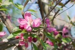 Ρόδινο λουλούδι μήλων Στοκ Εικόνα