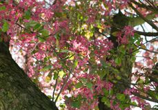 Ρόδινο λουλούδι μήλων Στοκ φωτογραφίες με δικαίωμα ελεύθερης χρήσης