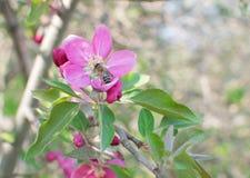 Ρόδινο λουλούδι μήλων Στοκ Εικόνες