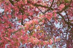Ρόδινο λουλούδι μήλων Στοκ εικόνα με δικαίωμα ελεύθερης χρήσης