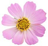 Ρόδινο λουλούδι μαργαριτών που απομονώνεται στην άσπρη ανασκόπηση Στοκ φωτογραφία με δικαίωμα ελεύθερης χρήσης