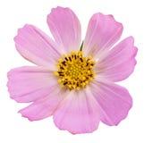 Ρόδινο λουλούδι μαργαριτών που απομονώνεται στην άσπρη ανασκόπηση Στοκ Εικόνες