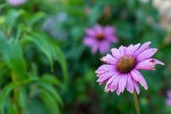 Ρόδινο λουλούδι μαργαριτών στον κήπο Στοκ Εικόνες