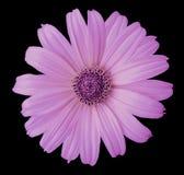 Ρόδινο λουλούδι μαργαριτών στο απομονωμένο ο Μαύρος υπόβαθρο με το ψαλίδισμα της πορείας Λουλούδι για το σχέδιο, σύσταση, κάρτα,  Στοκ Εικόνες