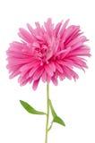Ρόδινο λουλούδι μαργαριτών Στοκ εικόνα με δικαίωμα ελεύθερης χρήσης