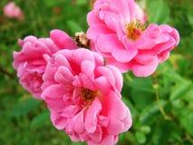 Ρόδινο λουλούδι με τα θολωμένα φύλλα πίσω στοκ εικόνα με δικαίωμα ελεύθερης χρήσης