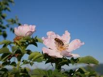 Ρόδινο λουλούδι με τη μέλισσα σε το Ρόδινος άγριος αυξήθηκε ή dogrose τα λουλούδια με βγάζουν φύλλα στο υπόβαθρο μπλε ουρανού Στοκ εικόνα με δικαίωμα ελεύθερης χρήσης