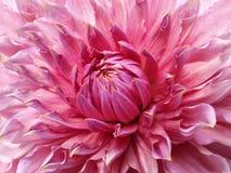 Ρόδινο λουλούδι νταλιών Μακροεντολή Ετερόκλητο μεγάλο λουλούδι Υπόβαθρο από ένα λουλούδι Στοκ φωτογραφία με δικαίωμα ελεύθερης χρήσης