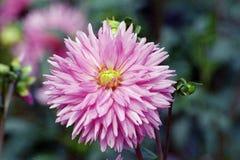 Ρόδινο λουλούδι νταλιών στον κήπο στοκ εικόνες