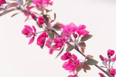 Ρόδινο λουλούδι πέρα από ένα άσπρο σκηνικό σκηνικού στοκ φωτογραφία με δικαίωμα ελεύθερης χρήσης