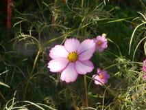 Ρόδινο λουλούδι στον τομέα στοκ εικόνες