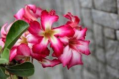 Ρόδινο λουλούδι στο γκρίζο υπόβαθρο τοίχων στοκ εικόνες