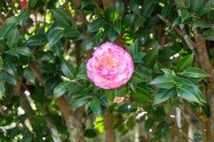 Ρόδινο λουλούδι στο δέντρο Στοκ Εικόνες