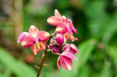 Ρόδινο λουλούδι της ορχιδέας Blume plicata Spathoglottis Στοκ Εικόνες