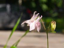 Ρόδινο λουλούδι του ευρωπαϊκού ή κοινού columbine, Aquilegia vulgaris, κινηματογράφηση σε πρώτο πλάνο, εκλεκτική εστίαση, ρηχό DO Στοκ Εικόνες