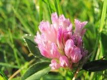 Ρόδινο λουλούδι τριφυλλιού Ð  στις πτώσεις της δροσιάς πρωινού Χαρούμενη διάθεση πρωινού στοκ εικόνα με δικαίωμα ελεύθερης χρήσης