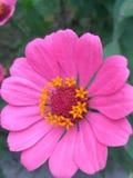 Ρόδινο λουλούδι Στοκ εικόνα με δικαίωμα ελεύθερης χρήσης