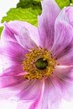 Ρόδινο λουλούδι anemone που απομονώνεται στο άσπρο υπόβαθρο Στοκ φωτογραφίες με δικαίωμα ελεύθερης χρήσης