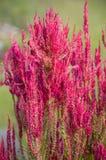 Ρόδινο λουλούδι argentea celosia στον κήπο φύσης Στοκ Εικόνες