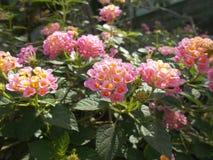 Ρόδινο λουλούδι camara Lantana Στοκ Φωτογραφίες