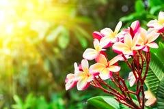 Ρόδινο λουλούδι frangipani ή λουλούδι plumeria που ανθίζει στο δέντρο στο SU στοκ εικόνα