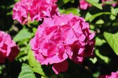 Ρόδινο λουλούδι hydrangea που ανθίζει κατά τη διάρκεια του καλοκαιριού στοκ φωτογραφία με δικαίωμα ελεύθερης χρήσης