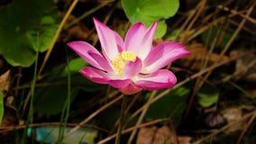 Ρόδινο λουλούδι Lotus απόθεμα βίντεο
