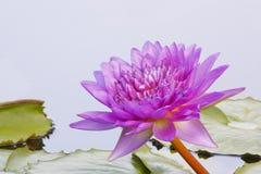 Ρόδινο λουλούδι Lotus Στοκ Εικόνες