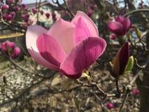 Ρόδινο λουλούδι Magnolia στην άνθιση, λεπτομέρεια Στοκ Φωτογραφία