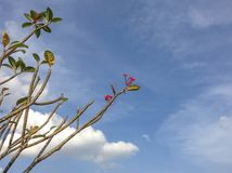 Ρόδινο λουλούδι plumeria με το υπόβαθρο μπλε ουρανού και σύννεφων Στοκ Εικόνες