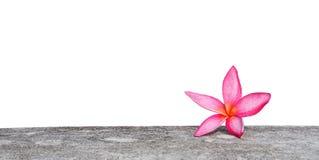 Ρόδινο λουλούδι plumeria στο συγκεκριμένο φράκτη που απομονώνεται στο λευκό Στοκ Εικόνα