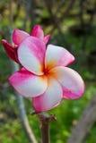 Ρόδινο λουλούδι plumeria, Frangipani Στοκ Εικόνα