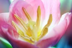 Ρόδινο μακρο λουλούδι τουλιπών Στοκ φωτογραφία με δικαίωμα ελεύθερης χρήσης