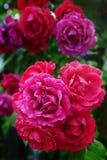 ρόδινο μπουμπούκι τριαντάφ& Στοκ Εικόνα