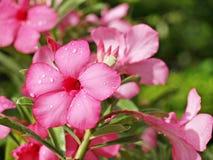 Ρόδινο νερό πτώσης λουλουδιών αζαλεών και πράσινα φύλλα στον κήπο Στοκ φωτογραφίες με δικαίωμα ελεύθερης χρήσης
