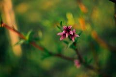 ρόδινο πορφυρό άνθος άνοιξη στην άνθιση στοκ εικόνα με δικαίωμα ελεύθερης χρήσης
