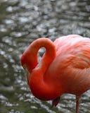 Ρόδινο πουλί φλαμίγκο της Φλώριδας στο νερό Στοκ φωτογραφία με δικαίωμα ελεύθερης χρήσης