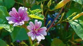 Ρόδινο ριγωτό λουλούδι Στοκ εικόνα με δικαίωμα ελεύθερης χρήσης