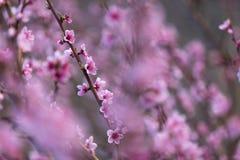 Ρόδινο ροδάκινο λουλουδιών άνοιξη όμορφο στο δάσος Στοκ φωτογραφίες με δικαίωμα ελεύθερης χρήσης