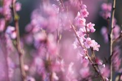 Ρόδινο ροδάκινο λουλουδιών άνοιξη όμορφο στο δάσος Στοκ εικόνα με δικαίωμα ελεύθερης χρήσης