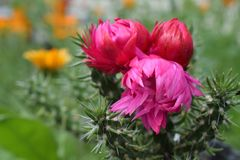 Ρόδινο τρίο 02 λουλουδιών κάκτων Στοκ εικόνες με δικαίωμα ελεύθερης χρήσης