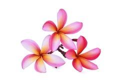 Ρόδινο τροπικό λουλούδι frangipani, plumeria, Lanthom, Leelawadee Στοκ Εικόνες