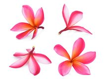 Ρόδινο τροπικό λουλούδι frangipani, plumeria, Lanthom, Leelawadee Στοκ Φωτογραφία
