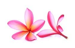 Ρόδινο τροπικό λουλούδι frangipani, plumeria, Lanthom, Leelawadee Στοκ φωτογραφίες με δικαίωμα ελεύθερης χρήσης