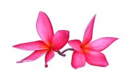 Ρόδινο τροπικό λουλούδι, plumeria, Lanthom, λουλούδι Leelawadee Στοκ Εικόνες