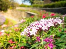 Ρόδινο τυχερό αστέρι Pentas Lanceolata ένα καλοκαίρι σε έναν βοτανικό κήπο Στοκ εικόνα με δικαίωμα ελεύθερης χρήσης
