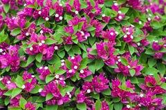 Ρόδινο υπόβαθρο φύσης λουλουδιών Bougainvillea Στοκ φωτογραφία με δικαίωμα ελεύθερης χρήσης