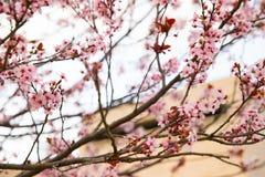 Ρόδινο χαρωπό άνθος στοκ φωτογραφίες