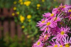 Ρόδινο χρυσάνθεμο στον κήπο Στοκ φωτογραφία με δικαίωμα ελεύθερης χρήσης