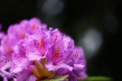 Ρόδινο χρωματισμένο lavender Rhododendron στην κινηματογράφηση σε πρώτο πλάνο με το copyspace για το σχέδιο προτύπων στοκ εικόνα με δικαίωμα ελεύθερης χρήσης